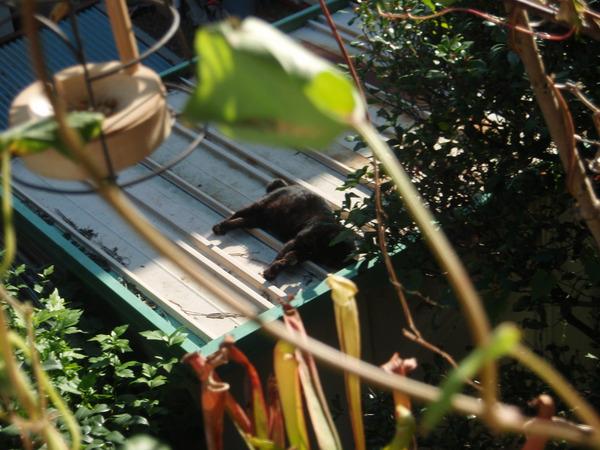 黒猫りきゅう昼寝.JPG
